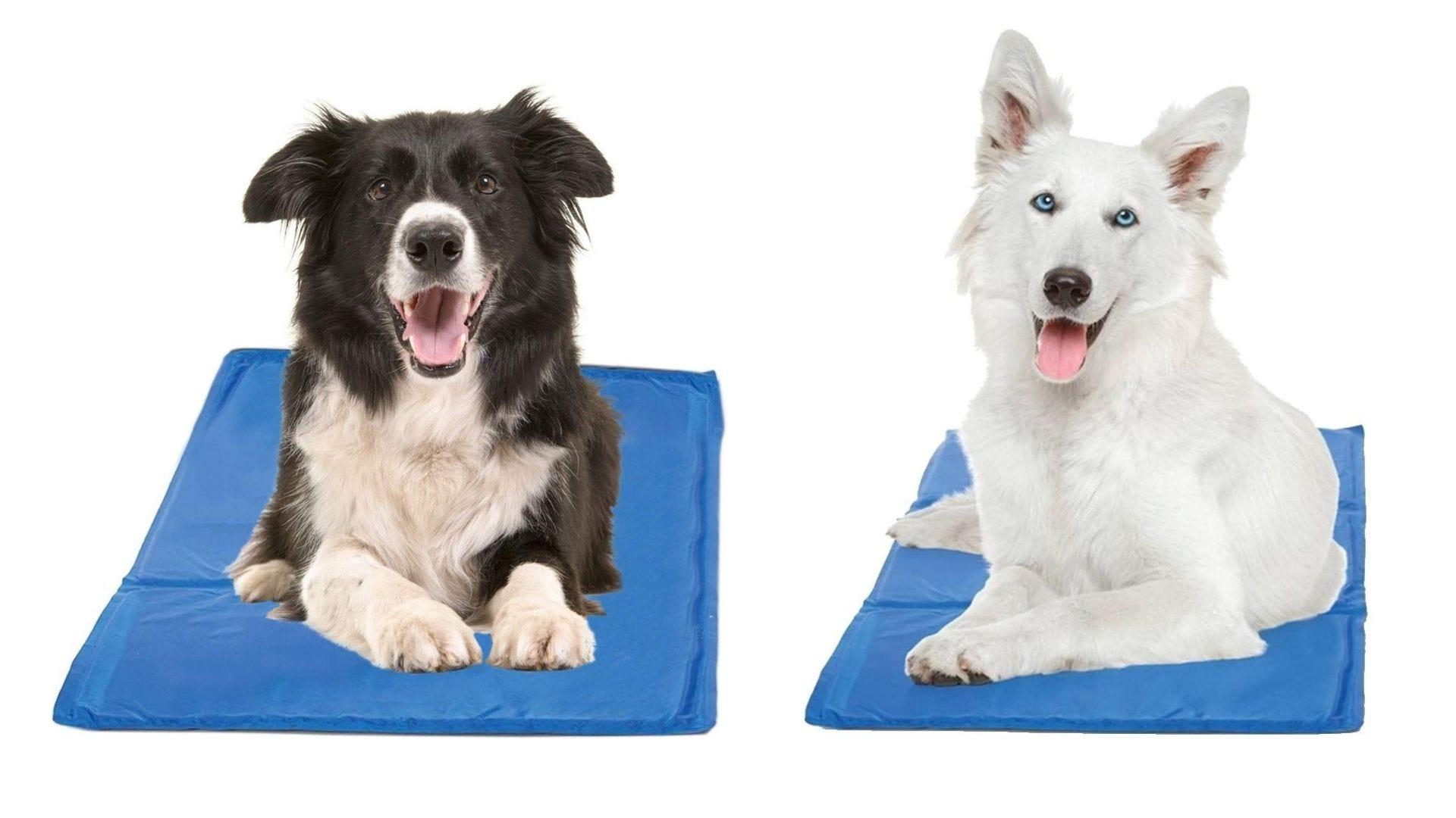 Dos perros se sientan en esteras azules.