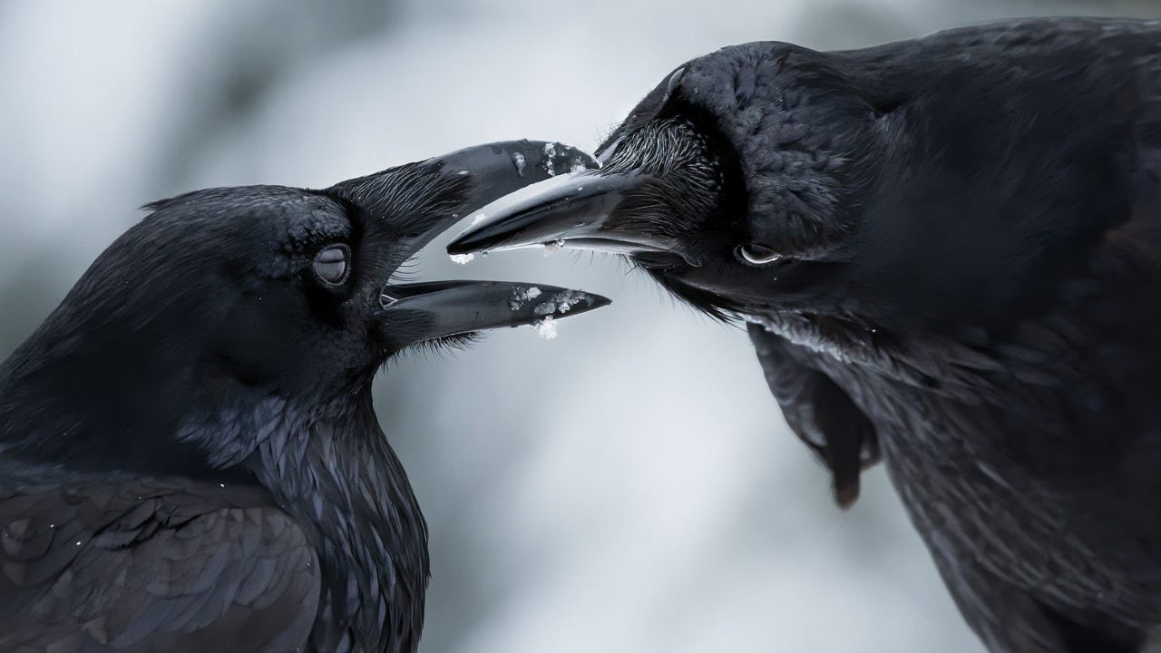 El fotógrafo autodidacta Shane Kalyn ganó la categoría Winged Life con su imagen titulada 'Beak to Beak' que captura a dos cuervos inspeccionando los picos del otro después de que terminaron de acicalarse mutuamente.