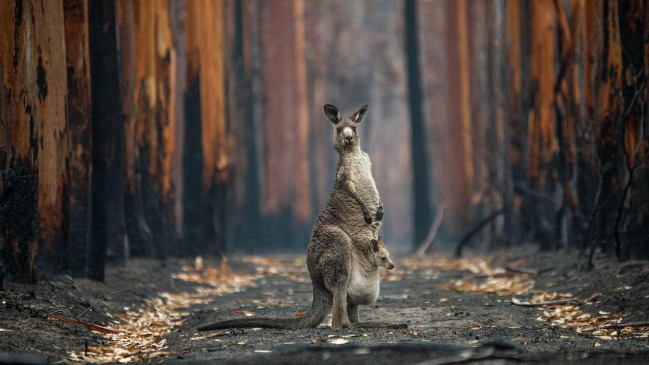 La imagen de la fotógrafa canadiense Jo-Anne McArthur Hope titulada - Hope in a Burned Plantation - fue la ganadora del Gran Premio del Concurso Big Picture 2021 con su imagen de un canguro que se había detenido en medio de una plantación de eucaliptos quemada durante los incendios forestales australianos de 2019. y 2020.