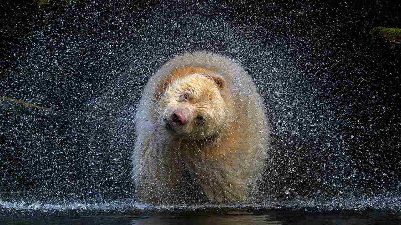 La ganadora de la categoría de Vida Silvestre Terrestre fue la fotógrafa canadiense de vida silvestre Michelle Valberg y su imagen titulada 'Jefe' que captura un oso espiritual, uno de los pocos cientos de osos blancos.  La imagen fue capturada con un movimiento de la mitad de la cabeza después de que buscaba huevas de salmón en un río
